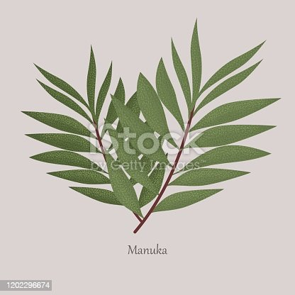 Leptospermum scoparium or manuka flowering beneficial plant. Manuka is a honey plant, tea, medical. Leaves of a plant on a gray background and logo.