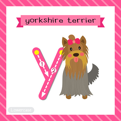 Letter Y lowercase tracing. Yorkshire Terrier dog