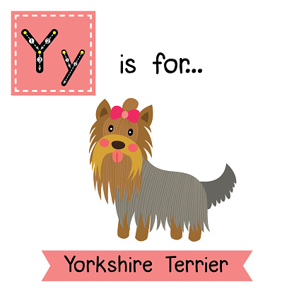 Letter Y tracing. Yorkshire Terrier dog.