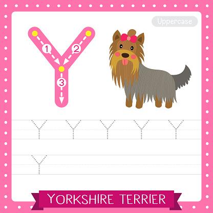 Letter Y uppercase tracing practice worksheet. Yorkshire Terrier dog