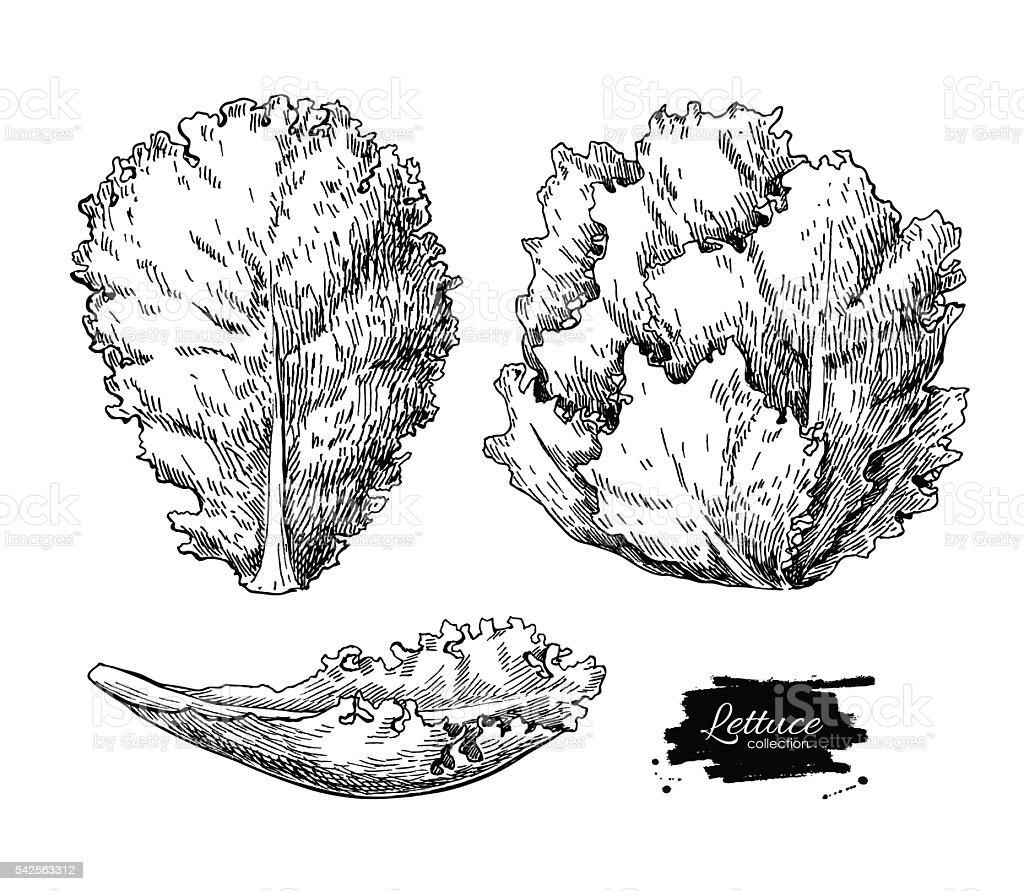 Alface Vetorial desenhado à mão série. Legumes estilo illustra gravados - ilustração de arte em vetor