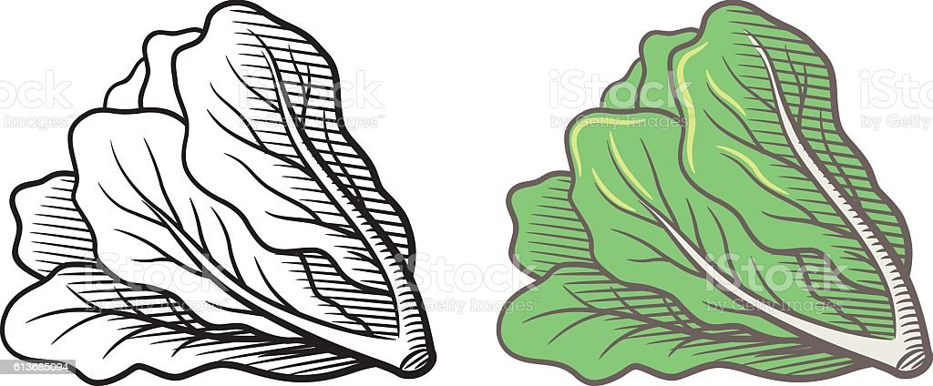 Lettuce illustration vector art illustration