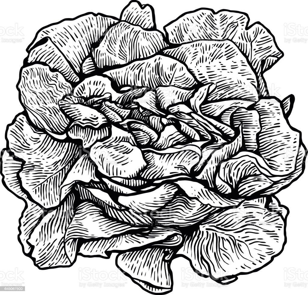 Laitue Illustration De Salade Dessin Gravure Dessin Au Trait Légume Vecteur Vecteurs Libres De Droits Et Plus D Images Vectorielles De Aliment