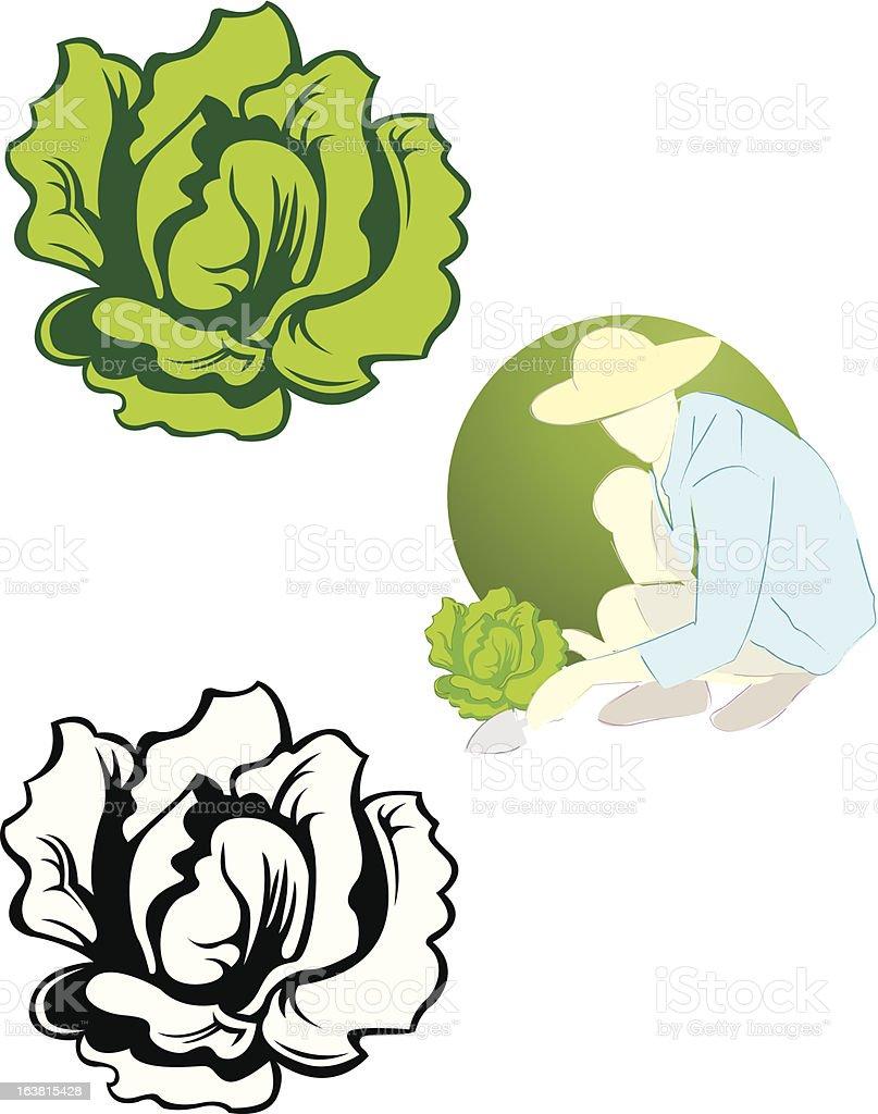 lettuce vector art illustration