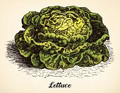 Lettuce vintage illustration vector