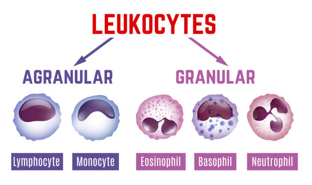 Leukocytes scheme image Leukocytes types scheme. Editable vector illustration with blood cells infographic in realistic style isolated on white background. Horizontal poster. Medical, scientific and healthcare concept. antibody stock illustrations