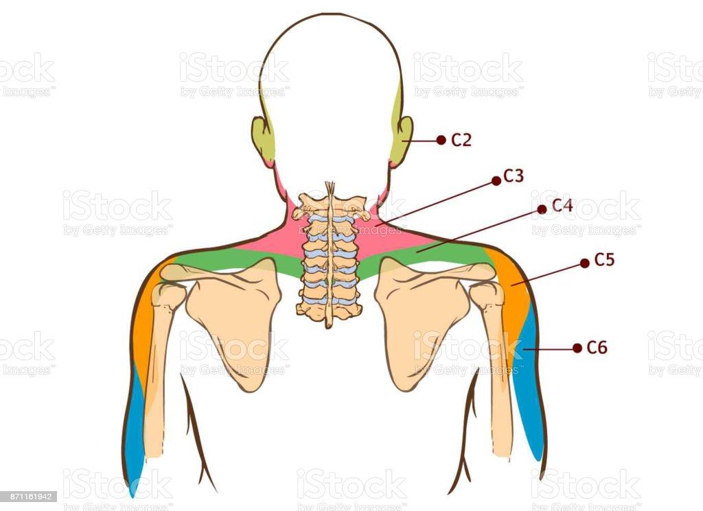 Ilustración de Músculo Elevador De La Escápula Tablero Didáctico De ...