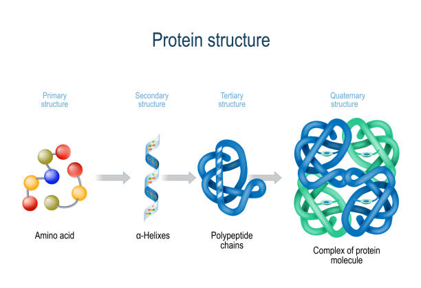 Levels of protein structure from amino acids to Complex of protein molecule. Levels of protein structure from amino acids to Complex of protein molecule. Protein is a polymer (polypeptide) that formed from sequences of amino acids. Levels of protein structure: Primary, Secondary, Tertiary, and Quaternary amino acid stock illustrations