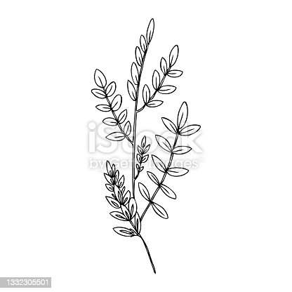 istock Licorice plant, flowers vector hand drawn illustration isolated on white, ink sketch, decorative herbal black doodle line art, medical herb for design cosmetic, natural medicine, food ingredient 1332305501
