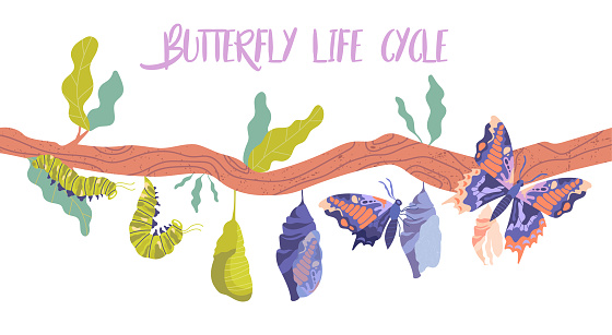 Life cycle and metamorphosis of a butterfly from caterpillar