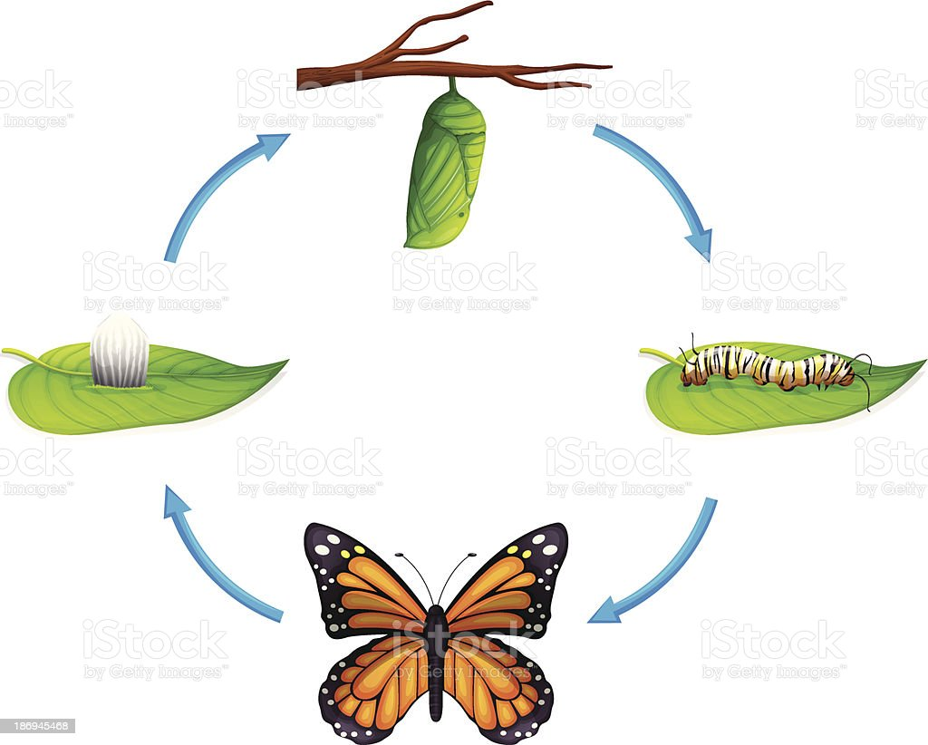 Life cycle - Danaus plexippus vector art illustration