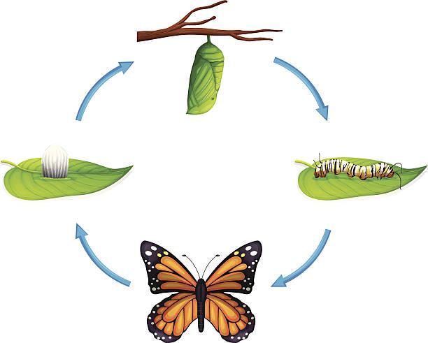 stockillustraties, clipart, cartoons en iconen met life cycle - danaus plexippus - larve