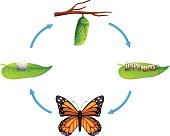 Life cycle - Danaus plexippus