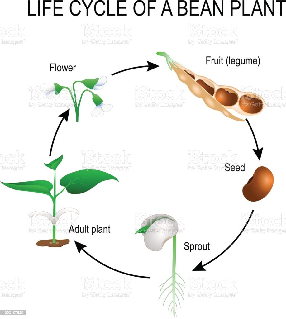 Life cycle of a bean plant stock vector art more images of adult life cycle of a bean plant royalty free life cycle of a bean plant pooptronica Images