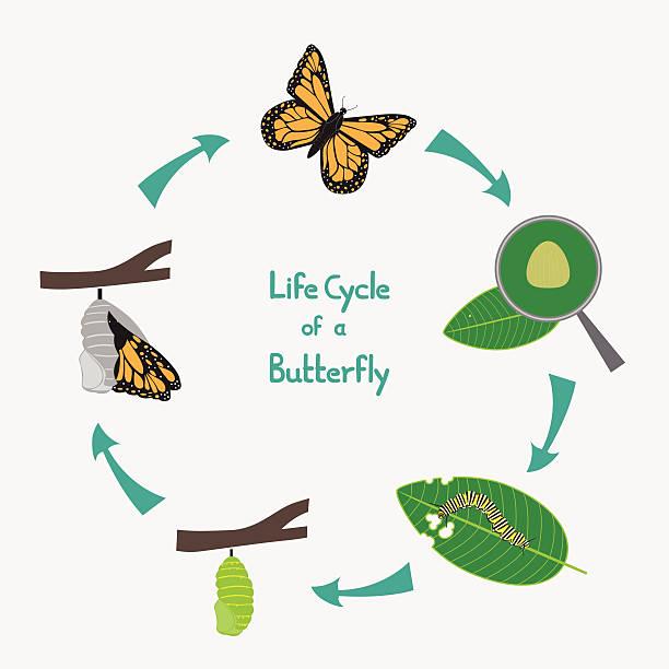 illustrations, cliparts, dessins animés et icônes de cycle de vie des papillons schéma explicatif - naissance