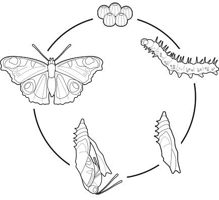 Lebenszyklus Eines Schmetterlings Stock Vektor Art und
