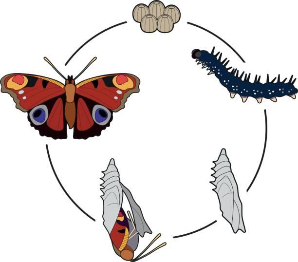 stockillustraties, clipart, cartoons en iconen met levenscyclus van een vlinder - rups