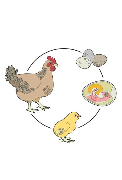 Life Cycle of a Chicken From egg to hen animal embryo stock illustrations