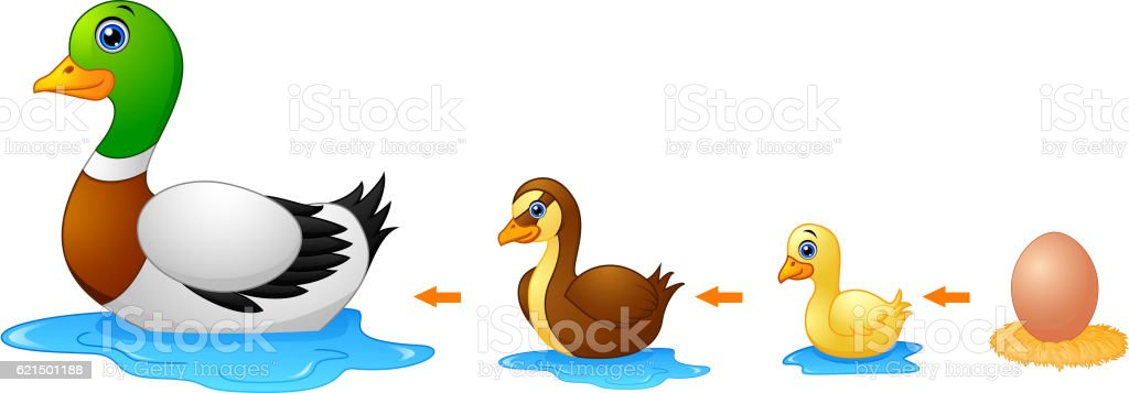 Life cycle of a duck life cycle of a duck - immagini vettoriali stock e altre immagini di anatra royalty-free