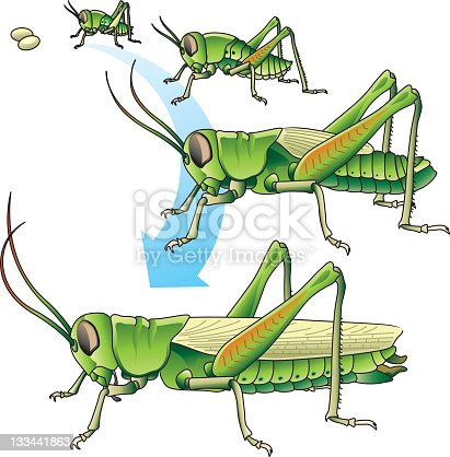 Grasshopper development, from eggs little grasshopper grows to an adult, vector file coloured with gradient and easy to change colour