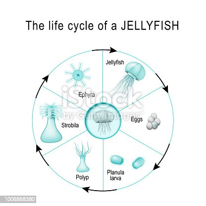 Life Cycle Of A Jellyfish Stock Vector Art More Images Of Anatomy