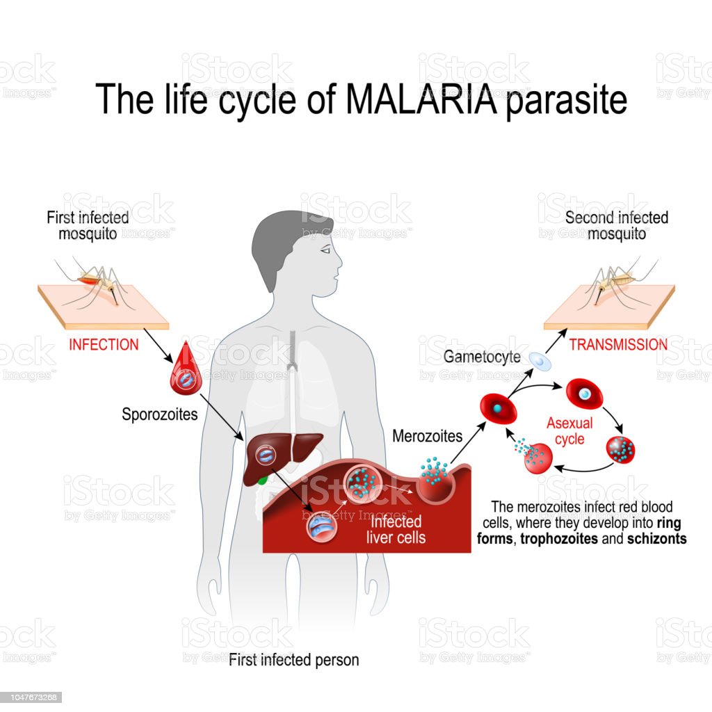 life cycle of a malaria parasite (from First infected mosquito to Second infected person). vector art illustration