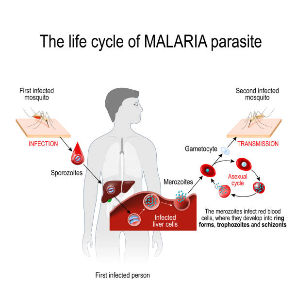 life cycle of a malaria parasite (from First infected mosquito to Second infected person). life cycle of a malaria parasite (from First infected mosquito to Second infected person). Malaria is a disease caused by a parasite called Plasmodium that is spread to humans by the bite of an infected mosquito. vector illustration for medical, educational and science use parasitic stock illustrations