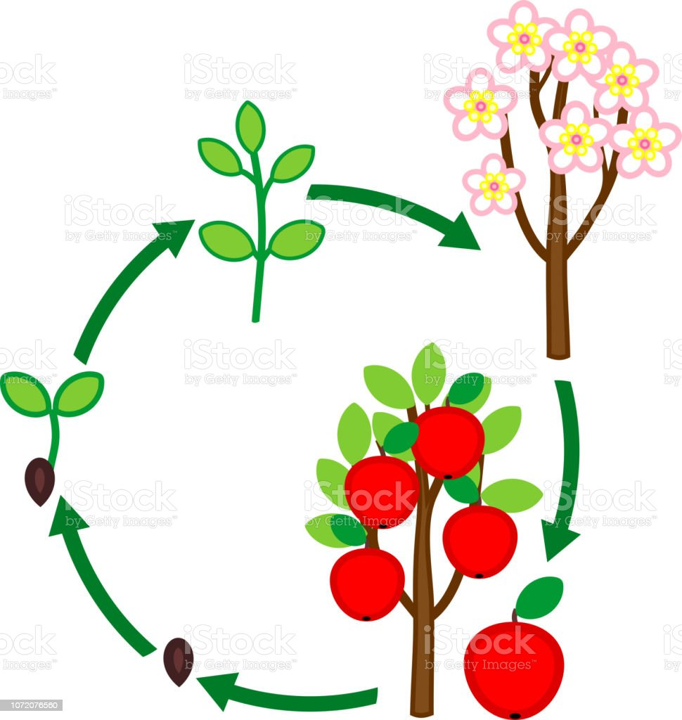 Life Cycle Of Apple Tree Plant Growth Stage From Seed To