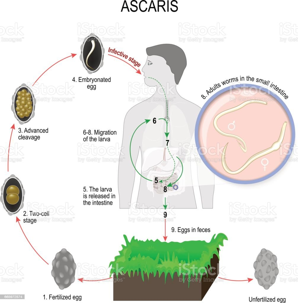 Life Cycle Of Ascaris Lumbricoides Stock Vector Art & More