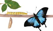 Life Cycle Of Butterflies - Vector illustration