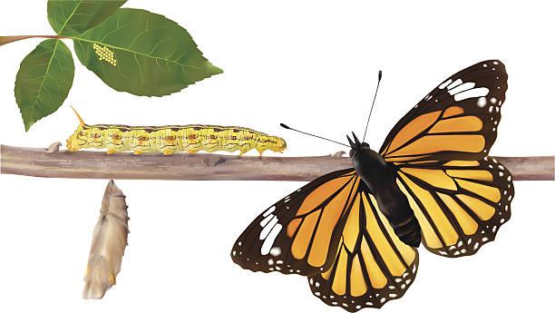 stockillustraties, clipart, cartoons en iconen met life cycle of butterflies - vector illustration - rups