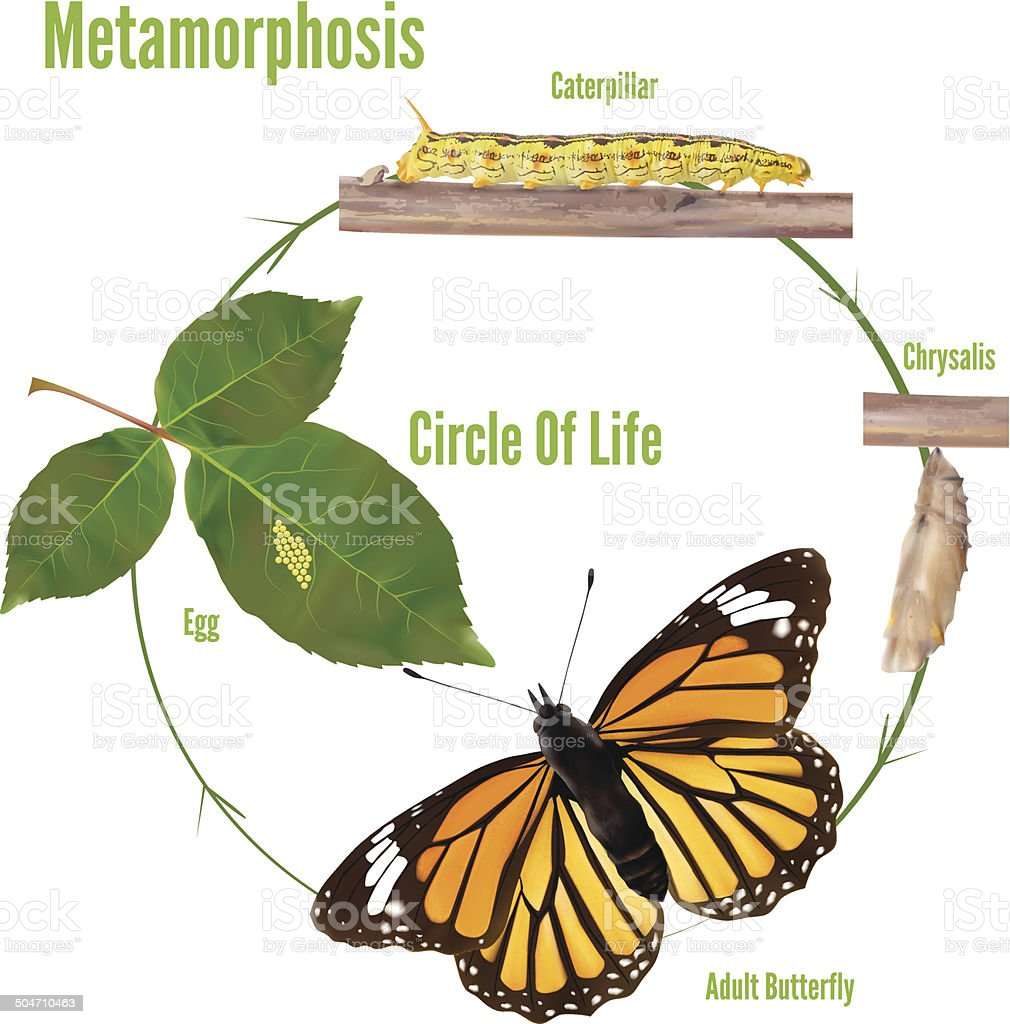 Life Cycle Of Butterflies - Vector illustration vector art illustration