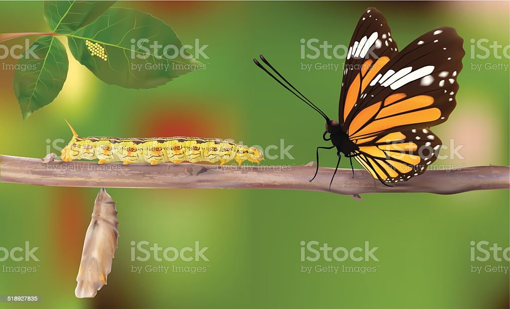 Life Cycle Of Butterflies - Vector vector art illustration