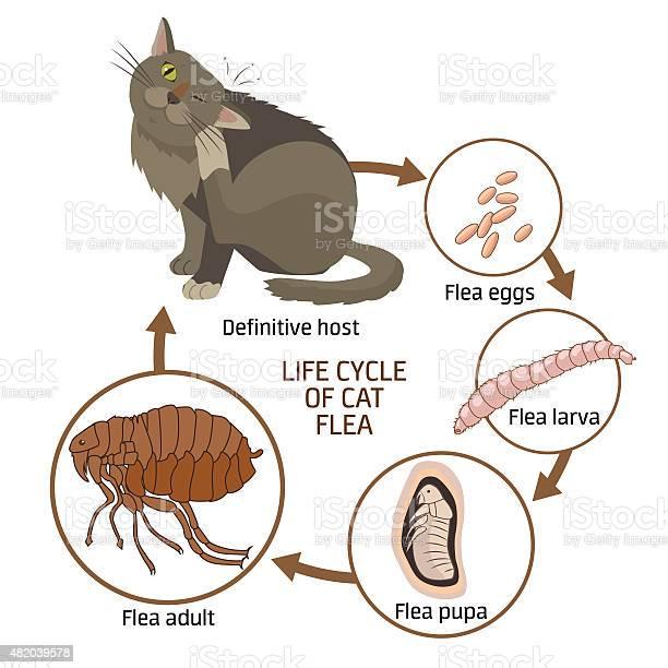 Life cycle of cat flea vector illustration vector id482039578?b=1&k=6&m=482039578&s=612x612&h=mwdqk3cbtycbxpcj5kircfhhrtuoa0zcc5b0ljby0qs=