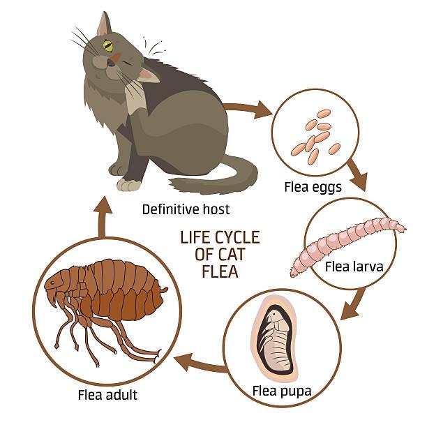 stockillustraties, clipart, cartoons en iconen met life cycle of cat flea vector illustration. - larve