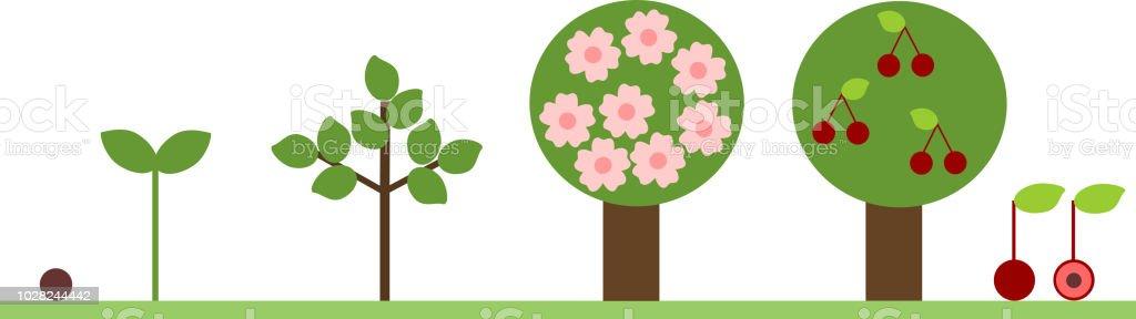 Ilustración de Ciclo De Vida Del árbol De Cerezo Etapa De ...