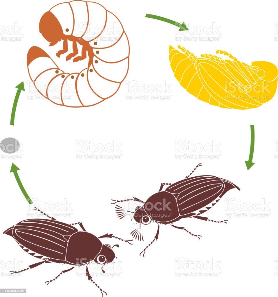 ollonborre larv