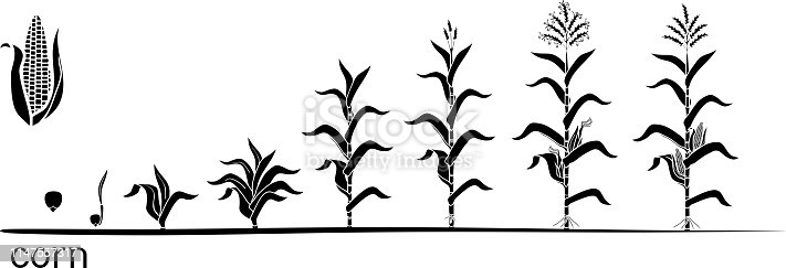 Life cycle of corn (maize) plant. Growth stages from seed to flowering and fruiting plant isolated on white background