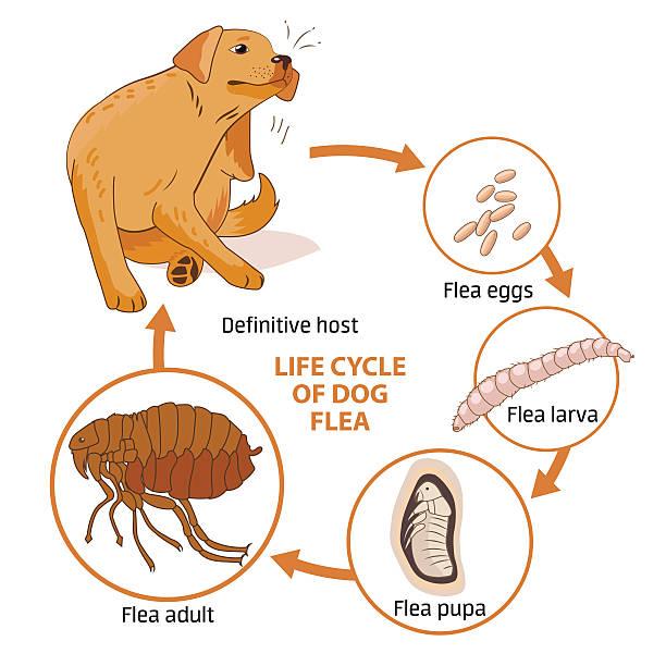 stockillustraties, clipart, cartoons en iconen met life cycle of dog flea. vector illustration. infection. - larve