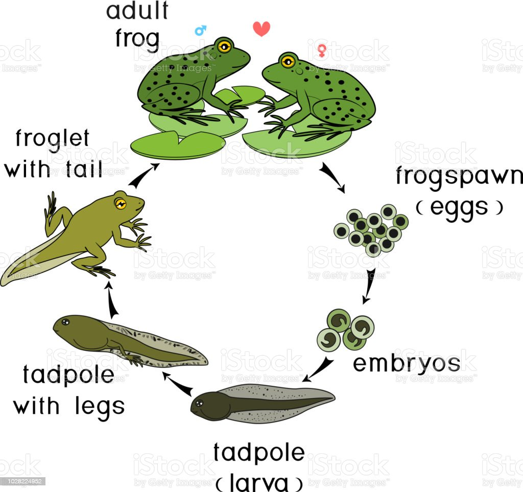 life cycle of frog sequence of stages of development of frog from