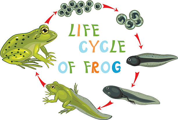 Top 60 Frog Eggs Clip Art, Vector Graphics and ... - photo#28