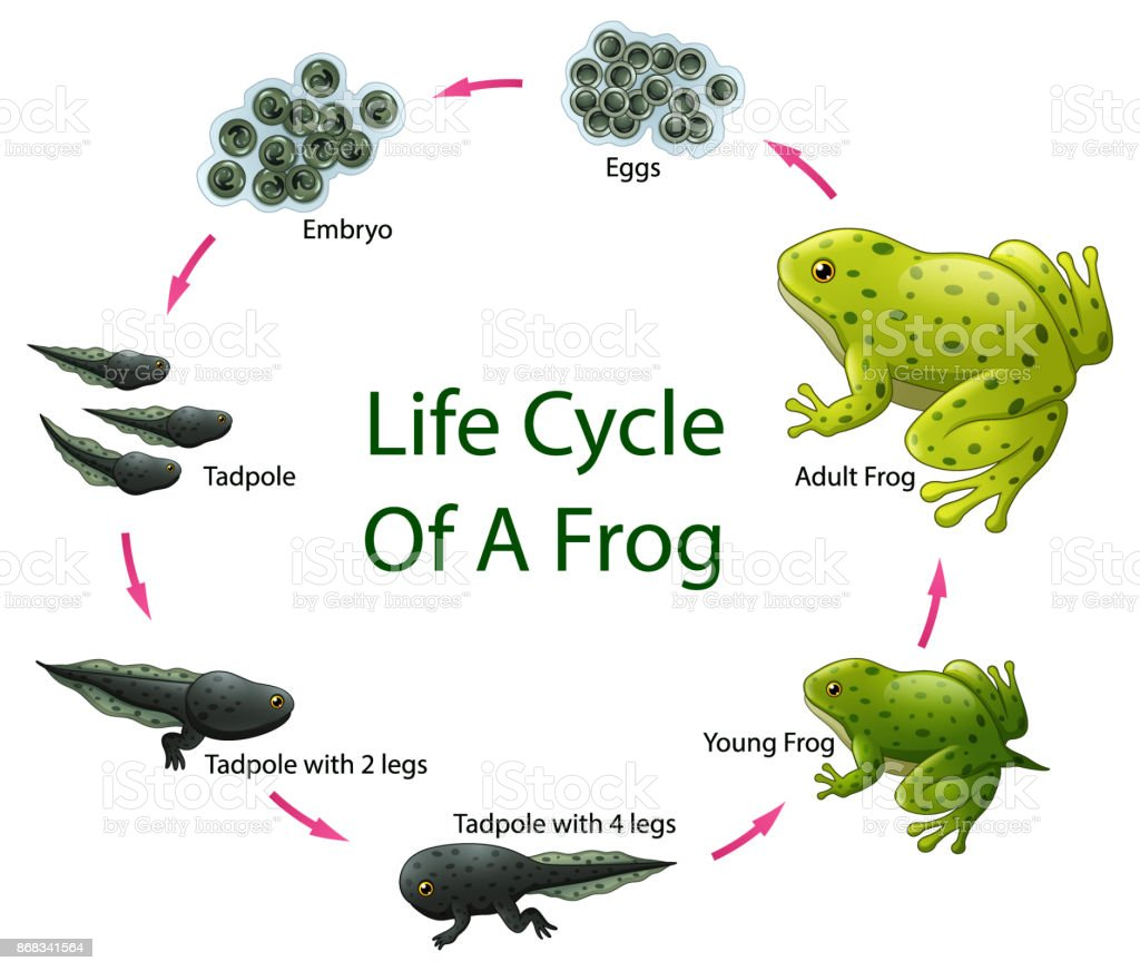 Life Cycle Of Frog Stock Illustration Download Image Now