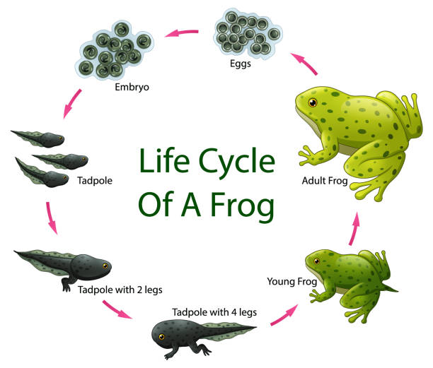 Life cycle of frog Vector illustration of Life cycle of frog new life stock illustrations