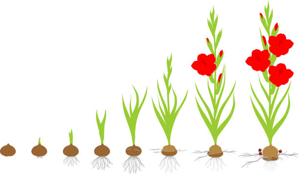 Life cycle of gladiolus plant. Stages of growth from planting corm to adult plant with flowers Life cycle of gladiolus plant. Stages of growth from planting corm to adult plant with flowers plant bulb stock illustrations