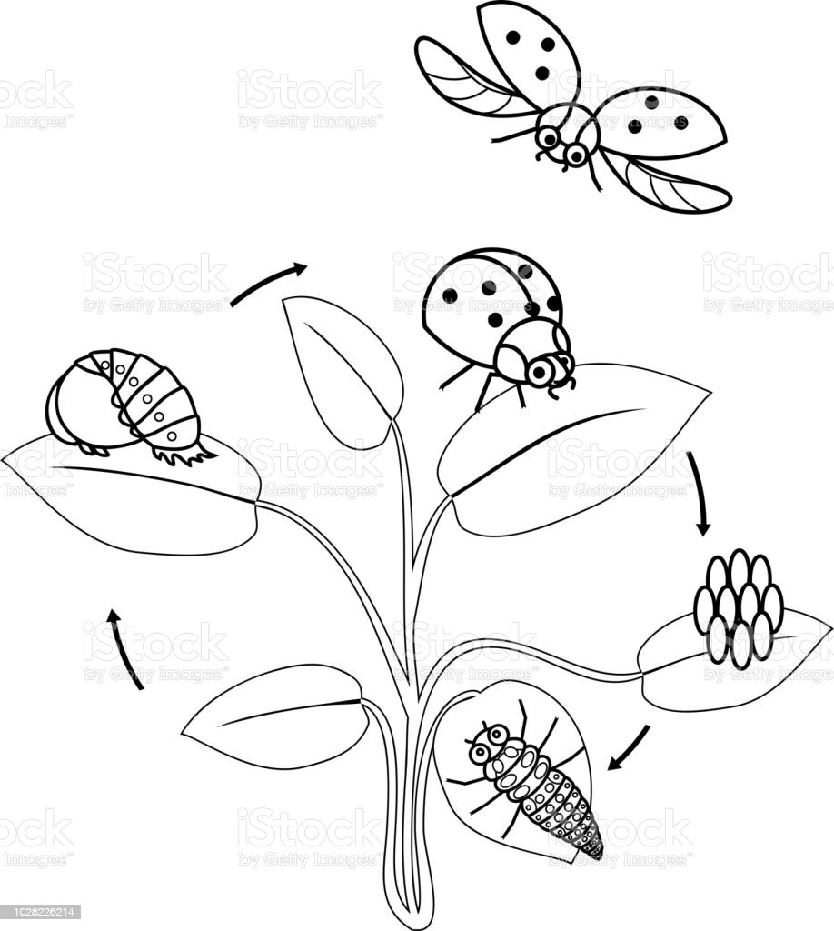 Life Cycle Of Ladybug Coloring Page Sequence Of Stages Of ...