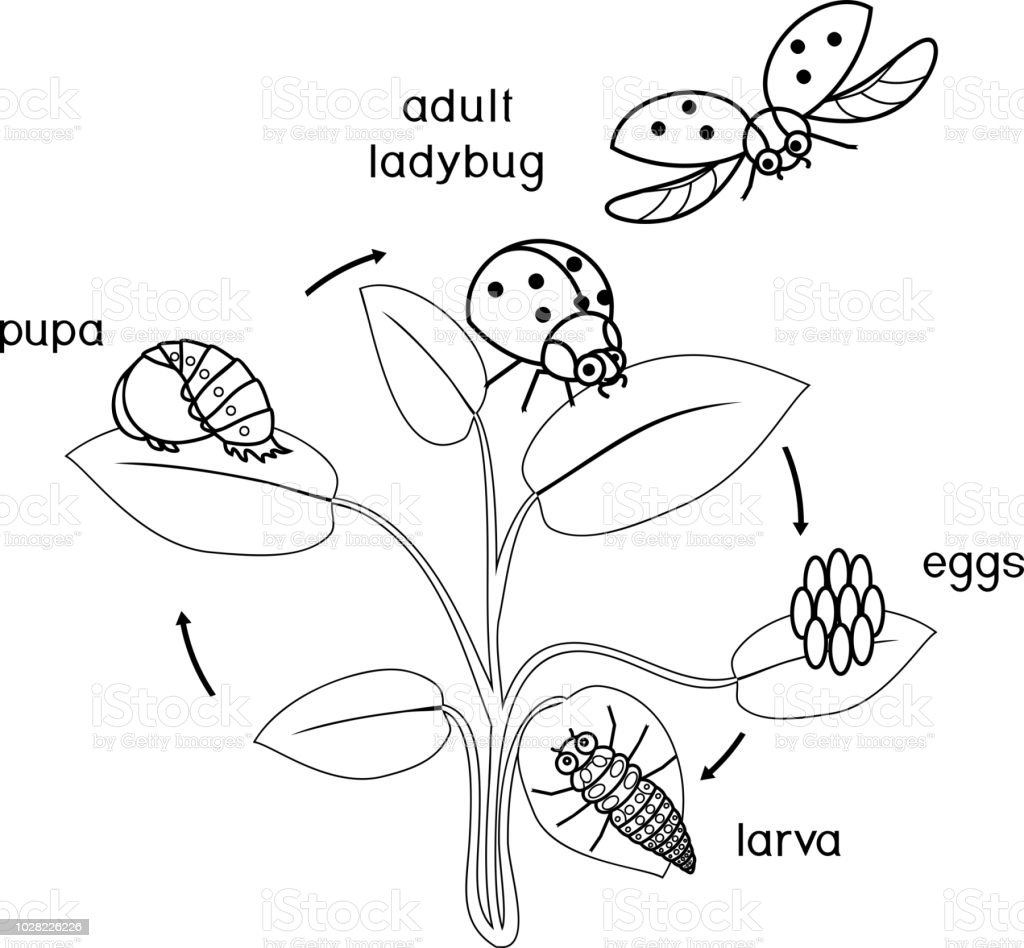 Life Cycle Of Ladybug Coloring Page Sequence Of Stages Of