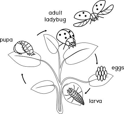 Sayfa Boyama Uğur Böceği Yaşam Döngüsü Yetişkin Böcek Için