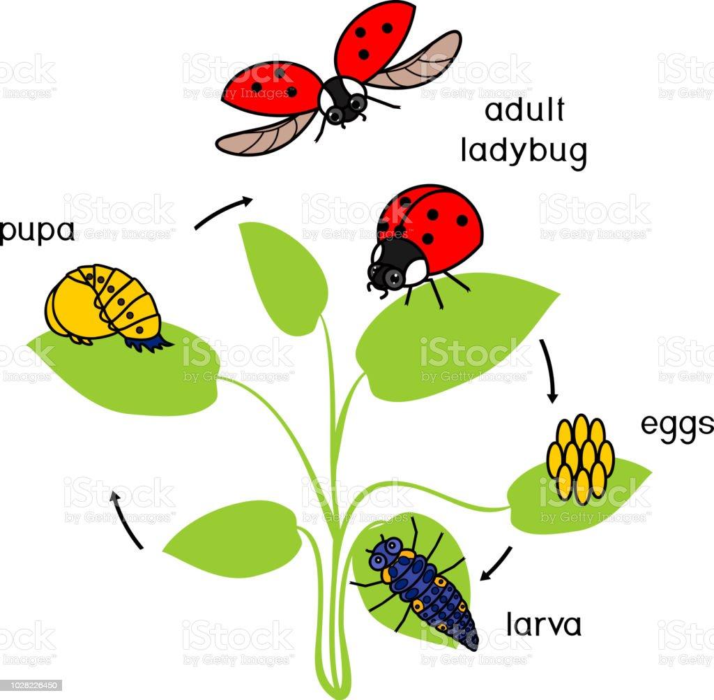 erwachsenen insekt ima