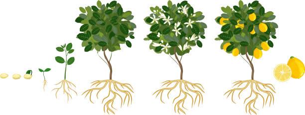 24 Hours Of Lemons >> Best Lemon Tree Illustrations, Royalty-Free Vector ...