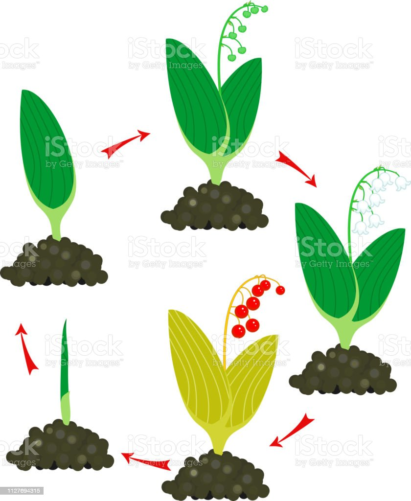 life cycle of lily of the valley or convallaria majalis  stages of growth  from green